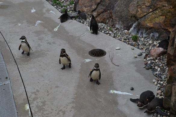 Pingvinerna i Slottsskogen är märkta med band runt vingarna. Banden visar vilket kön pingvinerna har samt hur gamla de är. Foto: Sophie Gräsberg